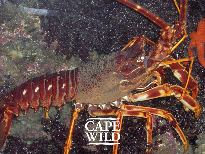cape_lobster02